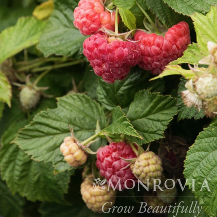 Edible #2 Rubus Raspberry Shortcake/Dwarf Raspberry