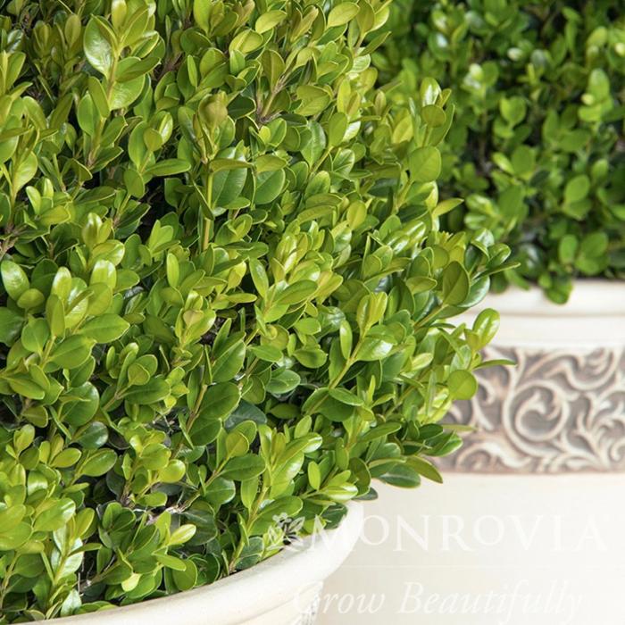 #2 Buxus microphylla Faulkner/Boxwood