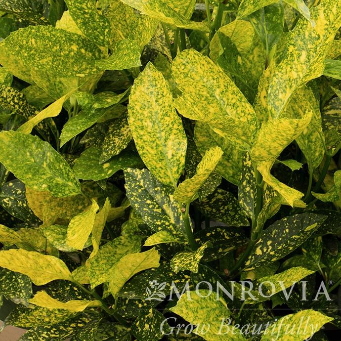 #2 Aucuba japonica Mr Goldstrike/Variegated Male