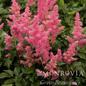#1 Astilbe Rheinland/Pink