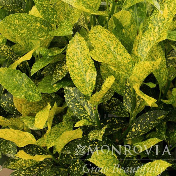 #1 Aucuba japonica Mr Goldstrike/Variegated Male