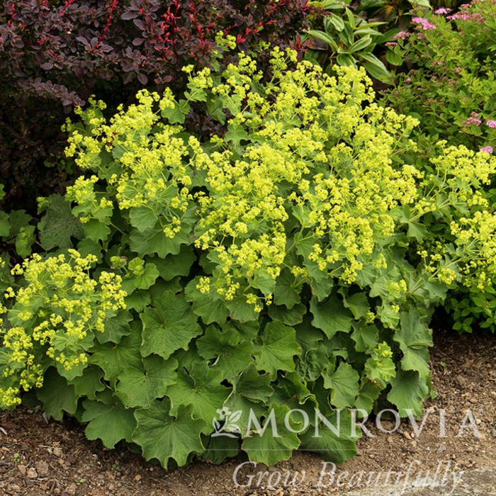 #1 Alchemilla Thriller/Lady's Mantle