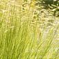 #1 Grass Bouteloua Blonde Ambition/Blue Grama