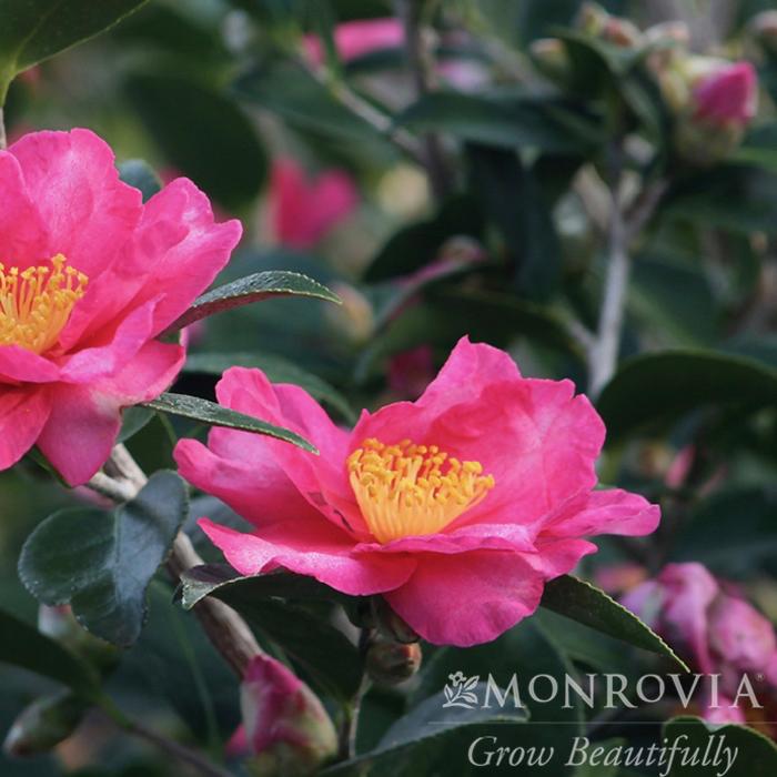 Topiary #5 Camellia s Kanjiro/Espalier No Warranty