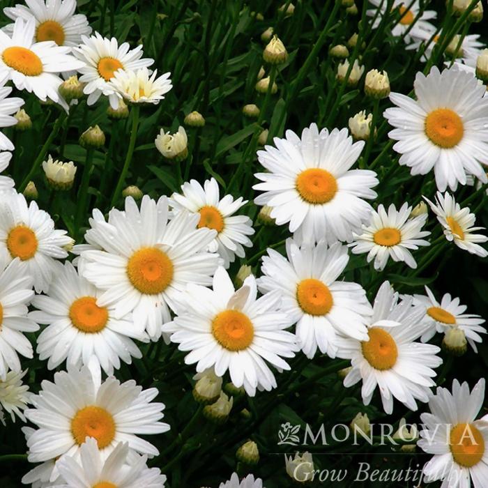 QP Leucanthemum x superbum 'Becky'/Shasta Daisy