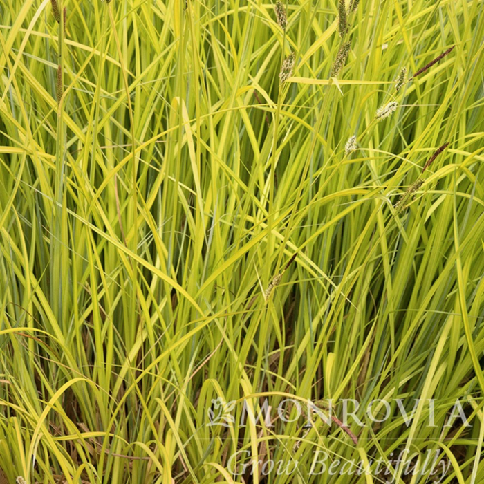#1 Grass Carex elata Aurea/Bowles Golden Sedge