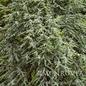 #5 Cedrus atlantica Glauca Fastigiata/Columnar Blue Atlas Cedar