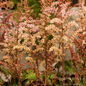 #1 Astilbe Color Flash