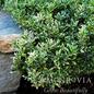 #2 Euonymus japonicus 'Microphyllus Variegatus'/Variegated Boxleaf