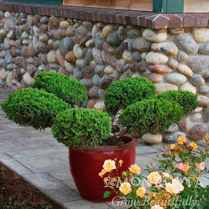Topiary #5 BO Juniperus chin San Jose/Chinese Juniper Bonsai
