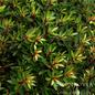 #2 Drimys lanceolata/Mountain Pepper No Warranty