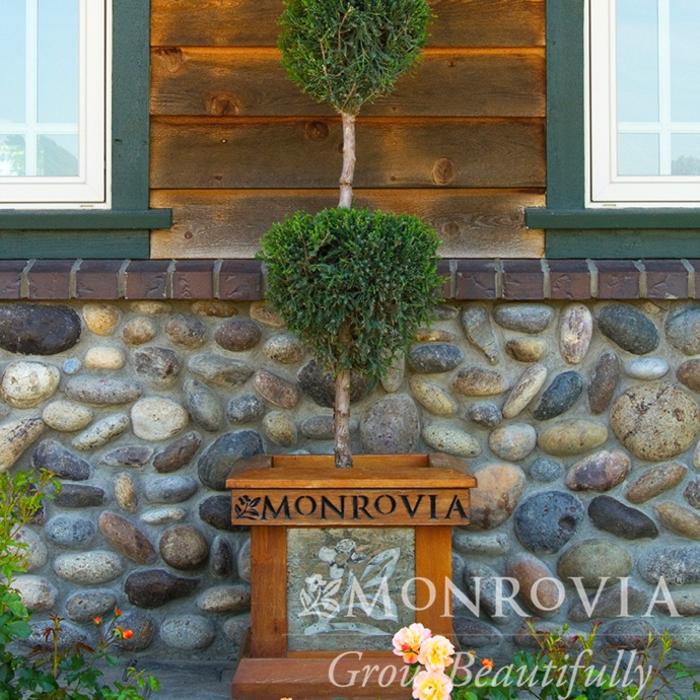 Topiary #7 3PDL Juniperus chin Hetzii Columnaris/Green Columnar Juniper Poodle