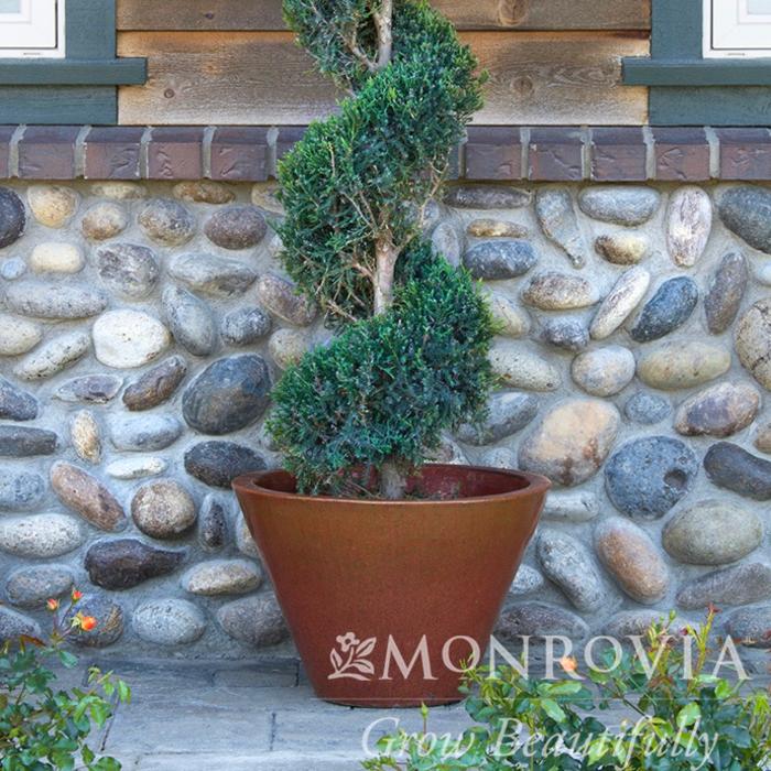 Topiary #7 SP Juniperus chin Hetzii Columnaris/Green Columnar Juniper Spiral