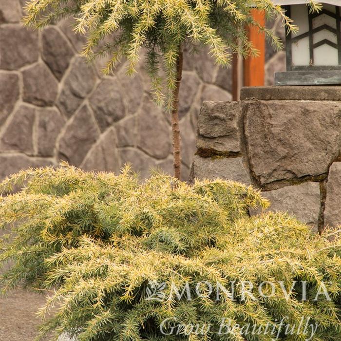 Topiary Patio Tree #5 Cedrus deodara Feelin Sunny/Deodar Cedar