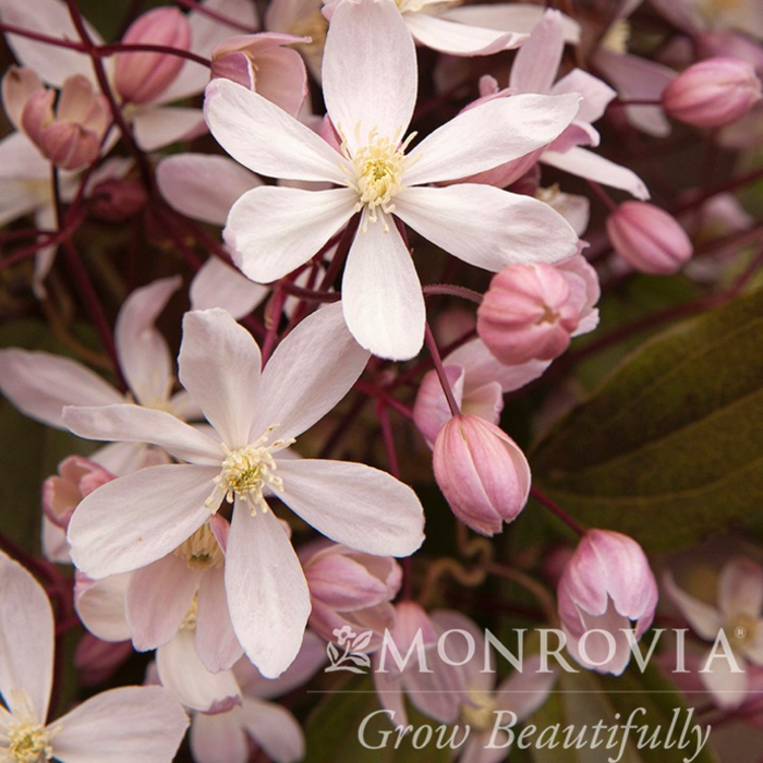#5 Clematis Armandii Apple Blossom/Evergreen