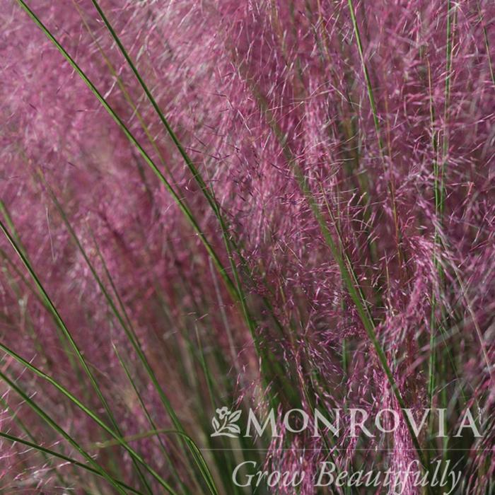 #3 Grass Muhlenbergia capillaris Plumetastic/Pink Muhly