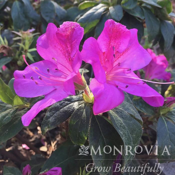 #2s Azalea Bloom-A-Thon Lavender