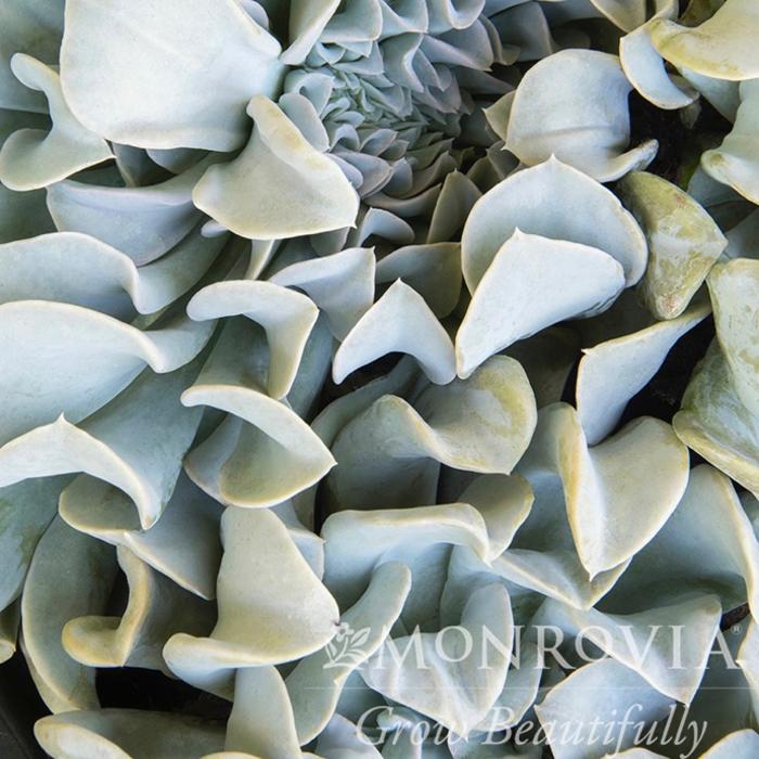 Echeveria Topsy Turvy in Decorative Planter