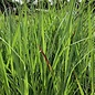 #3 Grass Panicum virg Heavy Metal/Switch