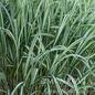 #1 Grass Miscanthus sine Cabaret/Japanese Silver Variegated