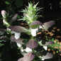 #1 Acanthus spinosus/Bear's Breeches