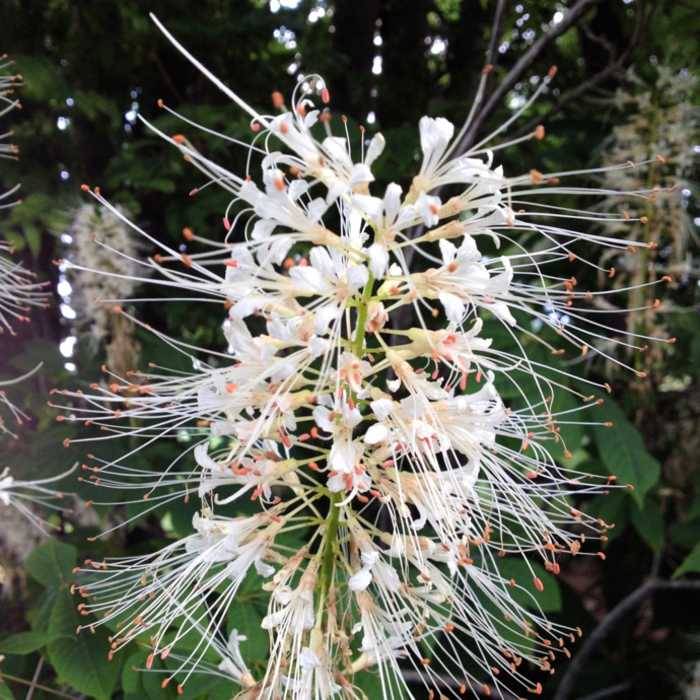 #3 Aesculus parviflora/Bottlebrush Buckeye