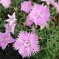#1 Dianthus Bath's Pink