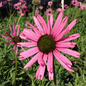 #1 Echinacea Rocky Top/Coneflower Tennessee Native