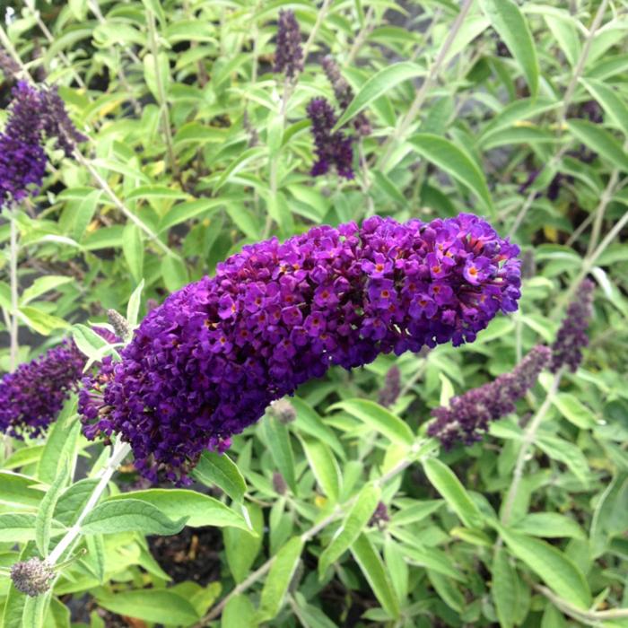 #3 Buddleia davidii Blue Knight/Butterfly Bush