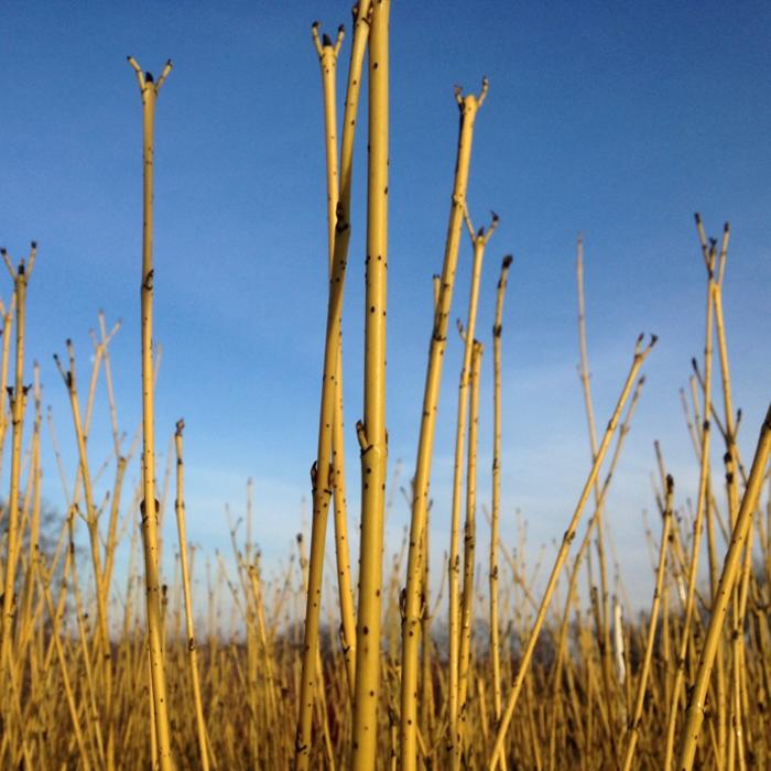 #1 Cornus sericea Flaviramea/Yellow Twig Dogwood