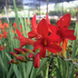#1 Crocosmia Lucifer/Monbretia Red