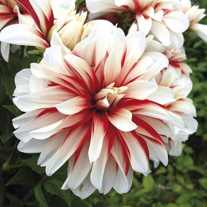 Bulb Dahlia Catching Fire /Wht & Red /Decorative 2/pk