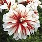 Bulb Dahlia Catching Fire /Wht & Red /Decorative 2/pk