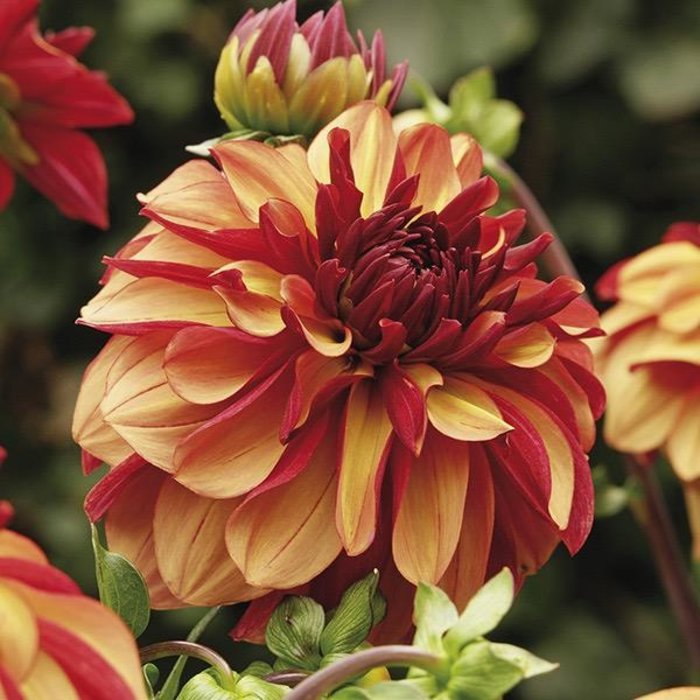 Bulb Dahlia Creme De Cognac /Org & Red /Decorative 2/pk