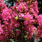 #3 Lagerstroemia Plum Magic/Crape Myrtle Semi-dwarf Fuchsia-pink