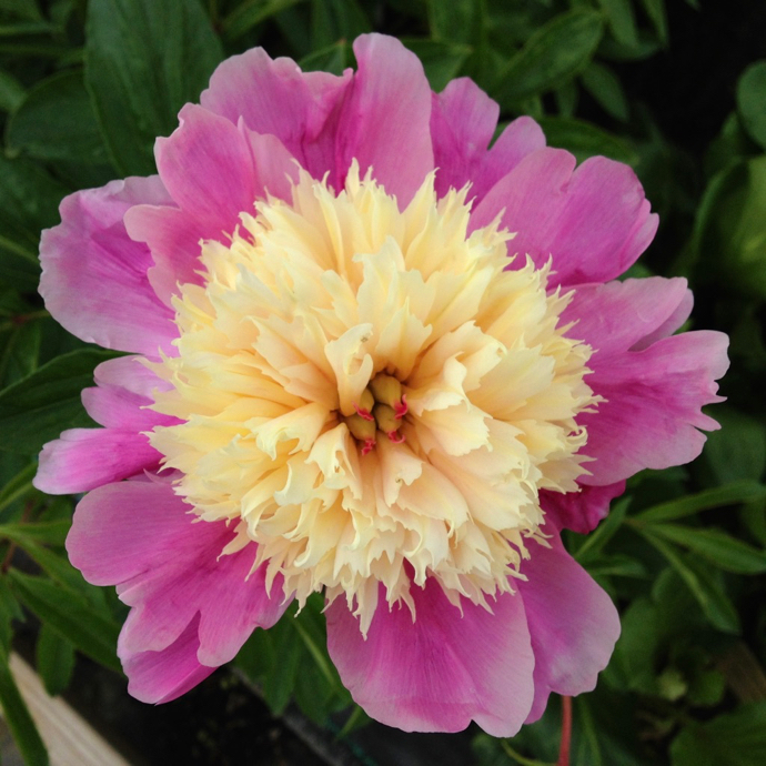 #2 Paeonia x Bowl Of Beauty/Peony Dbl Pink w/ Yellow Center