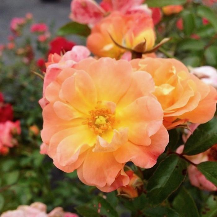#1 Rosa 'Meiggili'/Peach Dwarf Drift Shrub Rose NO WARRANTY