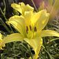 #1 Hemerocallis Hyperion/Daylily