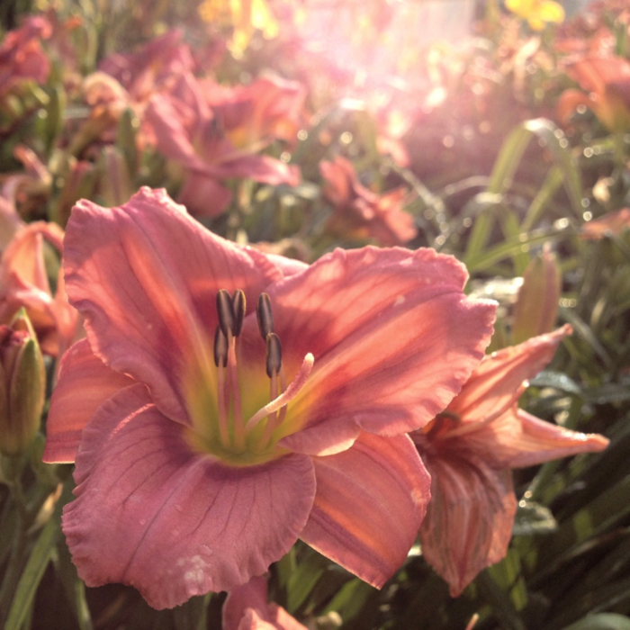 #1 Hemerocallis Rosy Returns/Daylily Repeat
