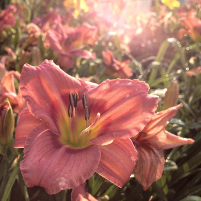 #1 Hemerocallis Rosy Returns/Daylily