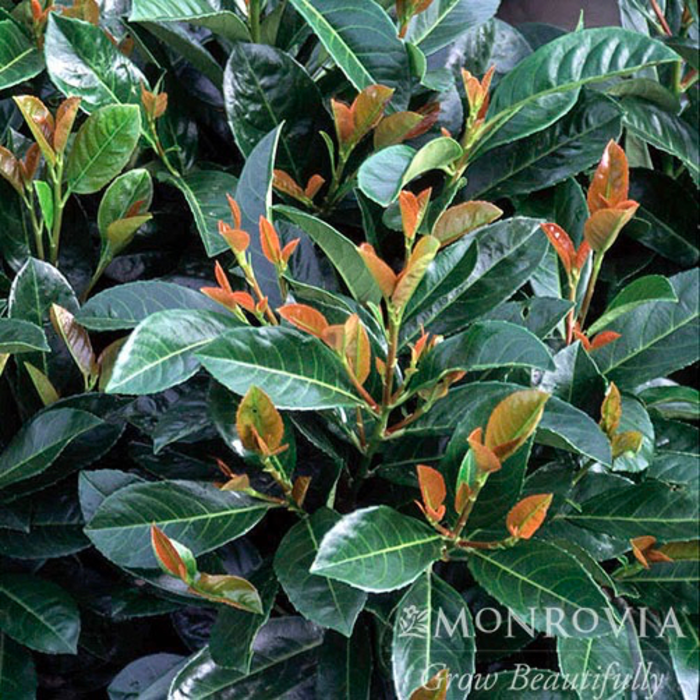 #5 Prunus lauro. Etna/English Laurel