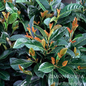 #5 Prunus lauro. Etna/English Laurel