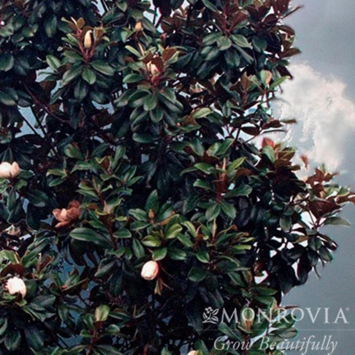 #15 Magnolia grand. 'Teddy Bear'/Dwarf Southern