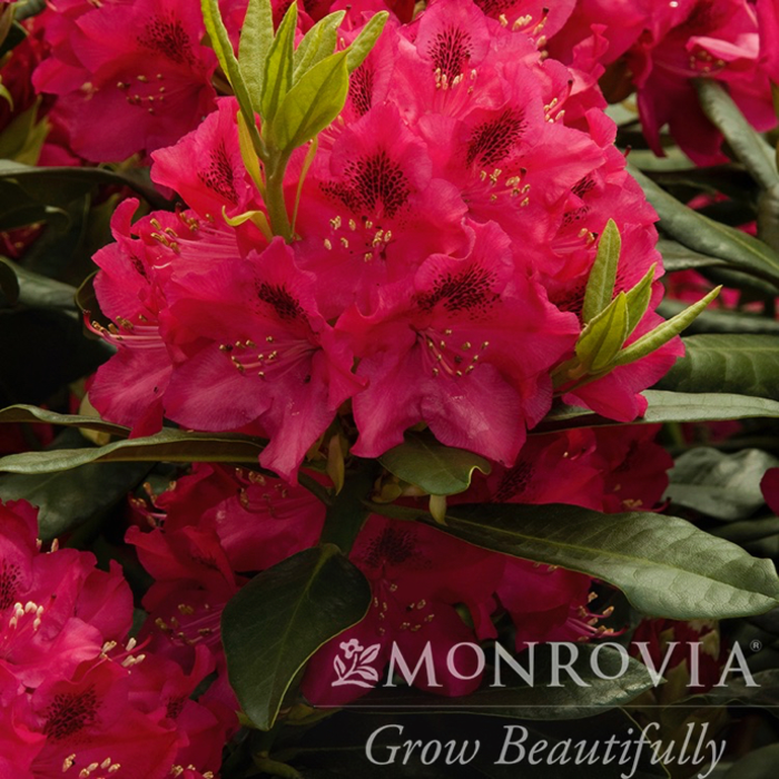 #5 Rhododendron x 'Nova Zembla' NO WARRANTY