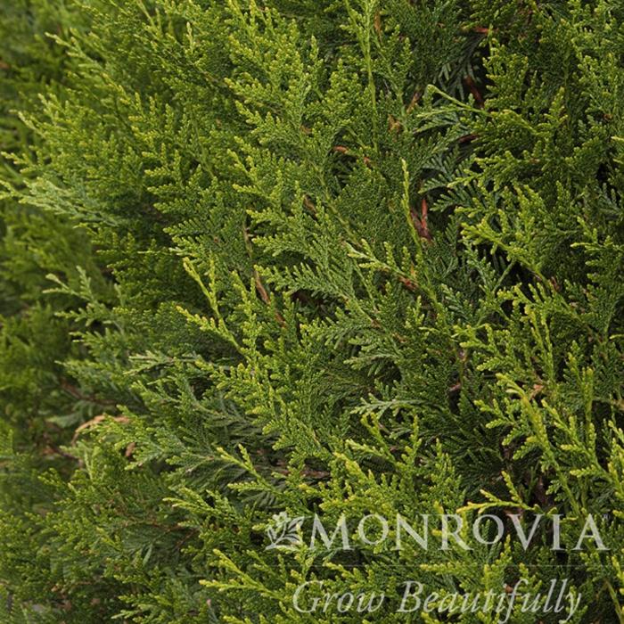 #5 Thuja plicata Green Sport/Arborvitae Pyramidal