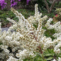 #2 Pieris japonica Tiki/White
