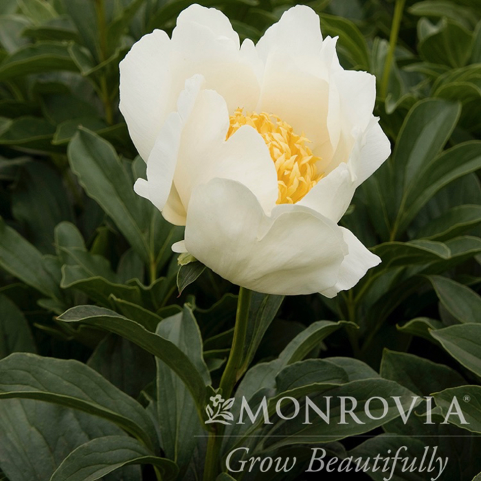 #2 Paeonia x Jan Van Leeuwen/Peony Single White w/ yellow Center