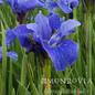 #1 Iris Bennerup Blue/Siberian