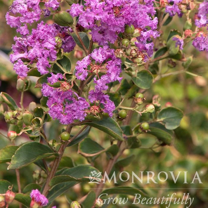 #3 Lagerstroemia indica Catawba/Crape Myrtle Violet-purple