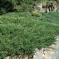 #1 Juniperus horiz Youngstown/Andorra Juniper Creeping